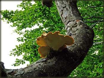 Polyporus Squamosus у шумама Малиника