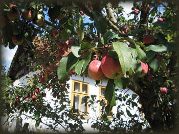 Sočne jabuke dojkinačke